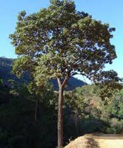 עץ איפאה טבאקו