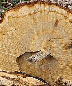 עץ אלון לפני עיבוד פאנל