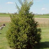 עץ דאגלס