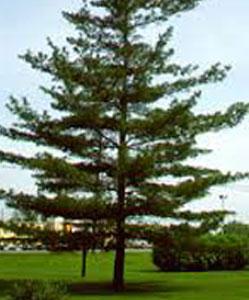 עץ לבן פאנל מחסן עצים