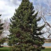 עץ אורן פאנל