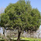 עץ אלון פאנל