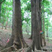 עץ מהגוני פאנל מחסן עצים